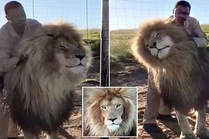 Watch adorable moment brave keeper, 42, gives fully grown male LION head massage (photos, video)