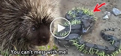 You've got to see what happens when a foolish snake attempts to eat a porcupine! Watch!