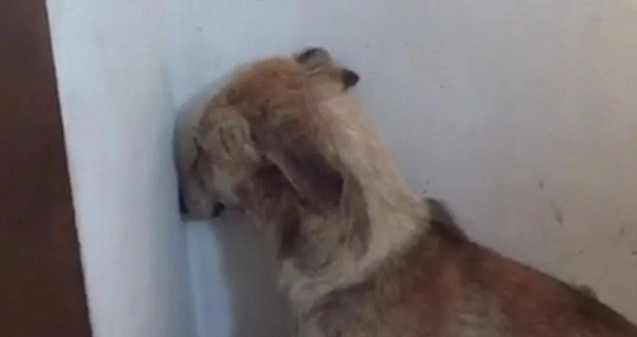 Heartbreaking video shows abused dog so scared she won't look away from wall