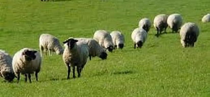 Sheep worth 230,000 stolen from company associated with Uhuru Kenyatta family