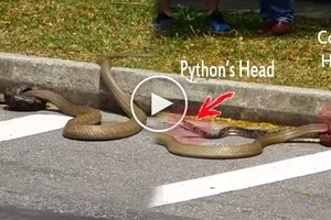 Video of king cobra and python in one-on-one street brawl will make you think twice before you cross the street