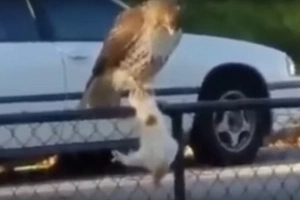 Insane Video Of A Hawk Strangling A Cat And Flying Away With It