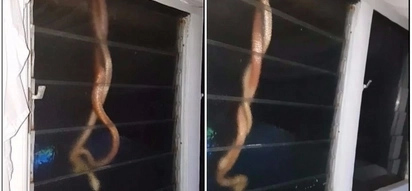 Unpleasant surprise! See terrifying moment man finds two snakes fighting on his window