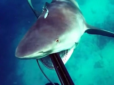 You Will Never Swim Again After Watching This Video Of A Bullshark Attacking A Diver