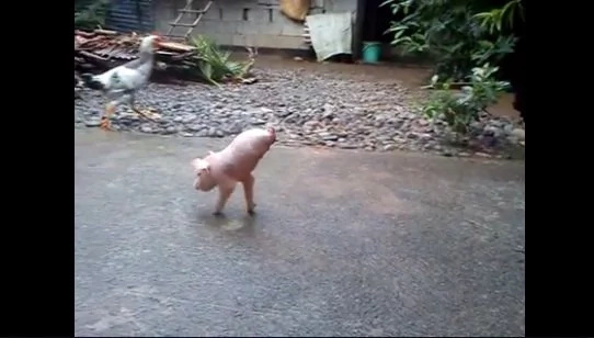 Amazing piglet in Ilocos Norte walks using only two legs