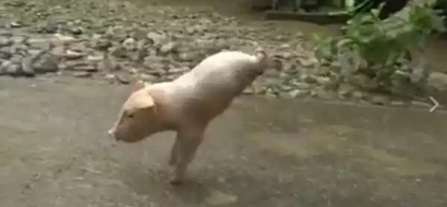 Video of disabled piglet walking on front legs goes viral