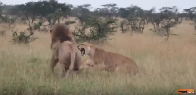 The lioness was brave in her defense of her young cub. Photo: YouTube/Maasai Mara Sightings
