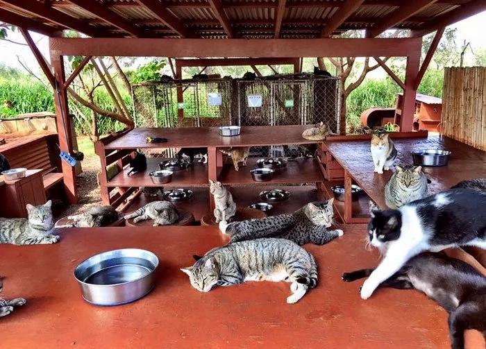 Puedes acariciar a 500 gatos en un santuario de Hawái