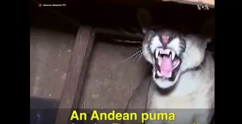 Family Comes Home To Find An Aggressive Puma Under Their Table