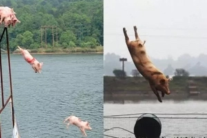 Ito pala ang sikreto! Pigs dive in a pond to get in perfect shape and produce delicious meat