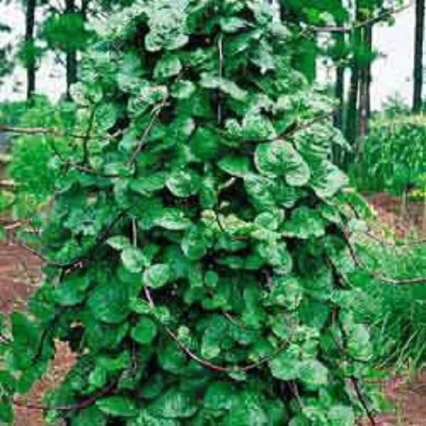 """¡Esta planta se llama """"REGALO DE DIOS"""", ya que puede curar más de 100 enfermedades!"""