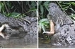 Crocodile devours WHOLE deer after unsuspecting animal comes too close to pond (photos, video)