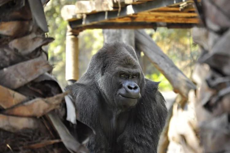 Muere el último gorila macho de un zoológico en México