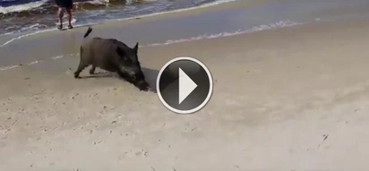Wild boar emerges out of sea and attacks terrified sunbathers