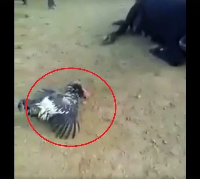 Fighting cock dead after intense love-making