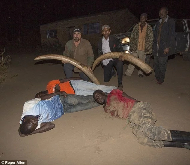 Hunter becomes the hunted! Undercover officers nab poachers with ivory worth Ksh12million