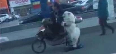 Should An Animal Be Fined For Not Being Licensed To Ride A Scooter? Watch This Video