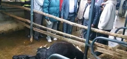 MP and gubernatorial aspirant attacked, cows slashed to death
