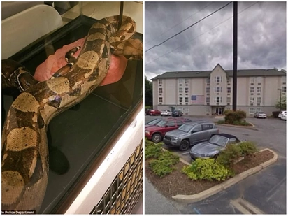 Shock as 1.5 meter python is found napping in hotel bed after its owner left the room