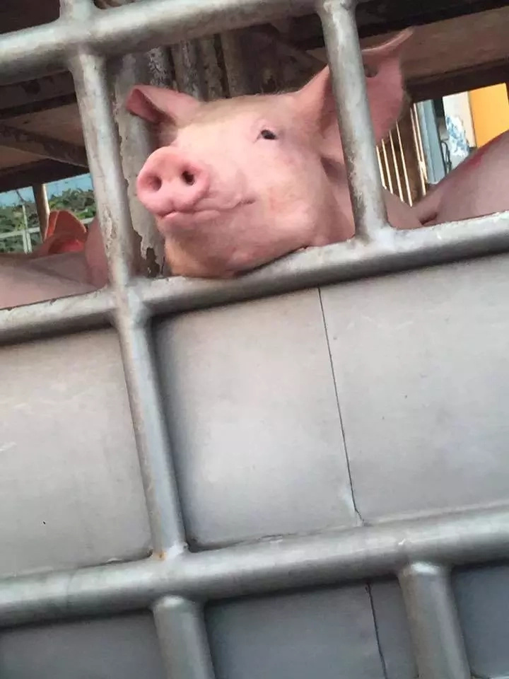 cute-pig