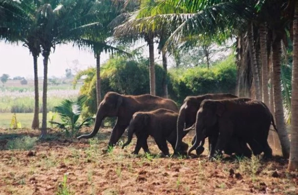 Terror as 43 elephants invade and wreak havoc in 5 villages in Tanzania (photos)