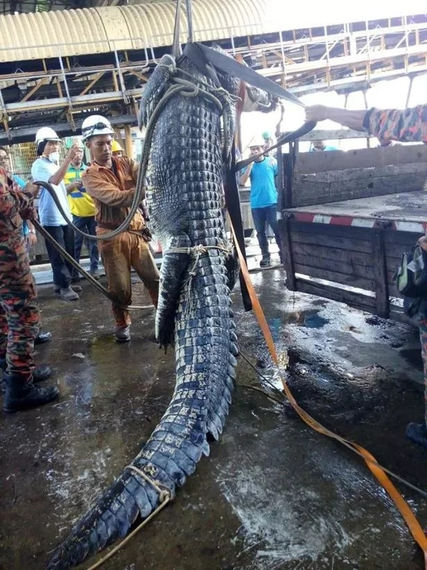 After a long, 10-hour operation, the firefighters managed to hoist the 1,000kg reptile up