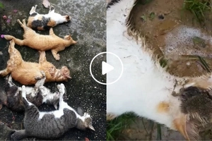 Wala kayong mga awa! These cats who were poisoned and killed will make you cry a river