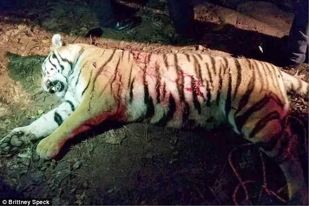 Police shoot dead tiger that escaped from truck while being transported,started terrorizing people