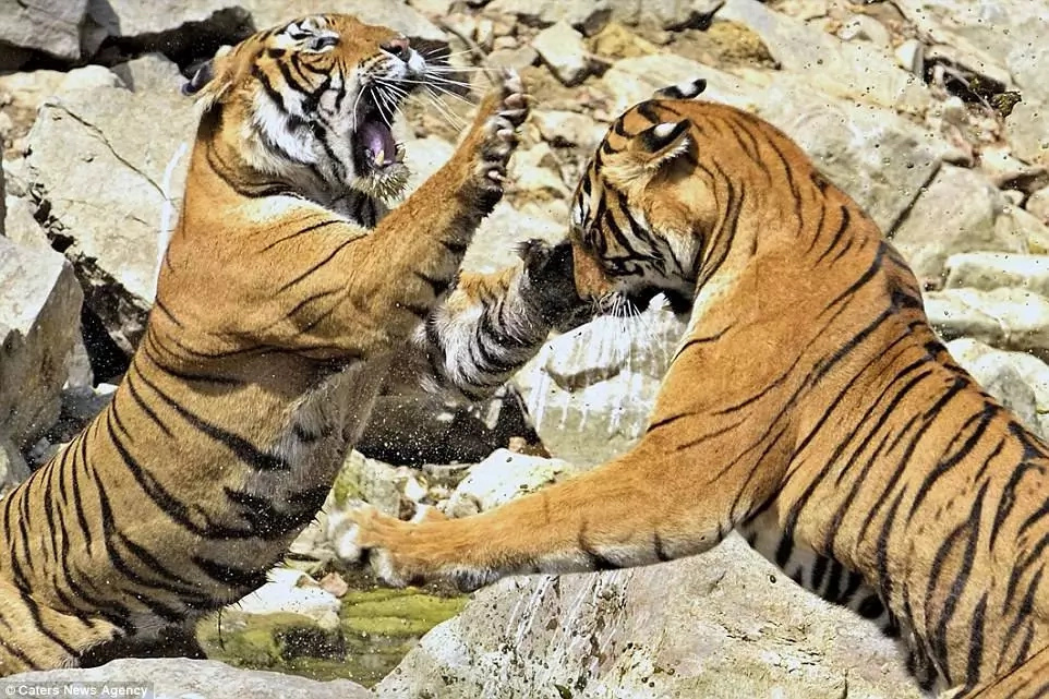 The tigresses have three cubs each