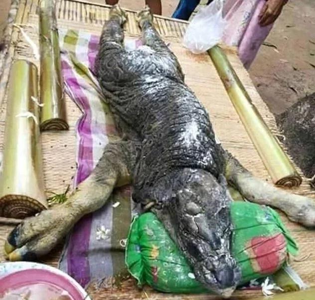 Inquietante híbrido de cocodrilo-búfalo nació en Tailandia