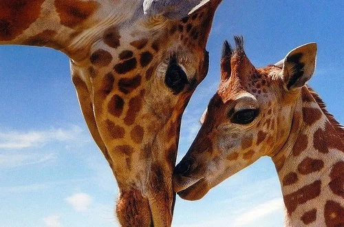Epic footage two giraffes fight each other!