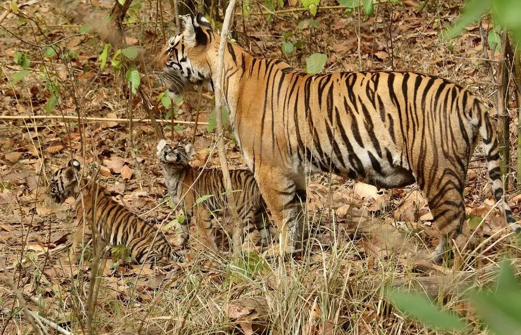 Tiger population increases worldwide thanks to conservation