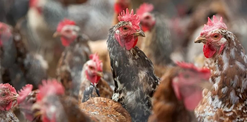 Why rearing chicken in Nakuru will be extremely difficult