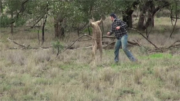 See how this man got involved in the fight between his dog and a kangaroo! Watch