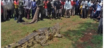 Huge relief as blood-thirsty crocodile that swallowed 3 children in Uganda is captured (photos)
