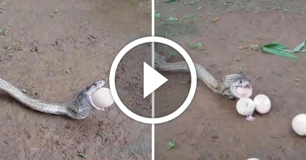 This cobra had to pay for being too greedy with eggs!