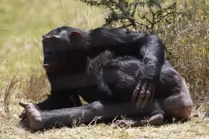 Chimpanzees Recognize Buttocks Like Humans Recognize Faces