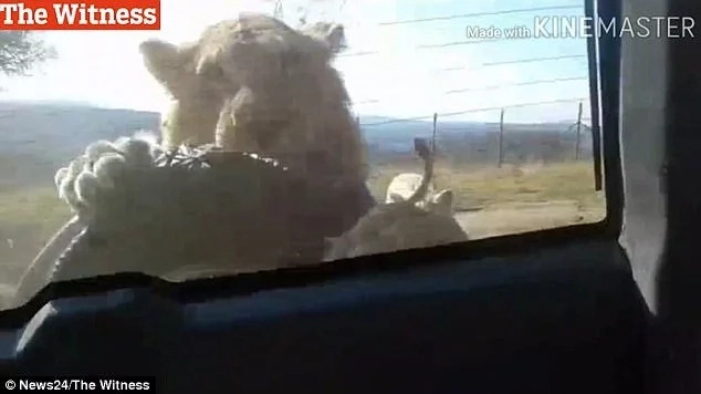 Tense moment as lion starts eating a car as it drives through a safari park