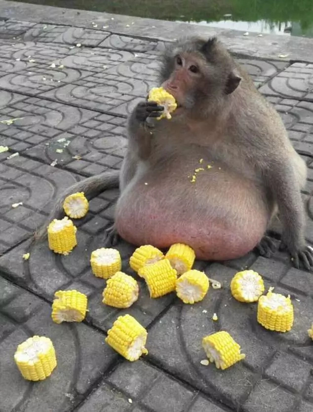 Obese 15kg monkey to be sent to fat camp to lose weight