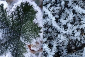 Is winter coming to PH? Below zero degree temperature leaves frost-covered vegetables in Benguet