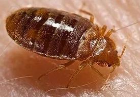 Kisumu Village Under Bed Bug Attack
