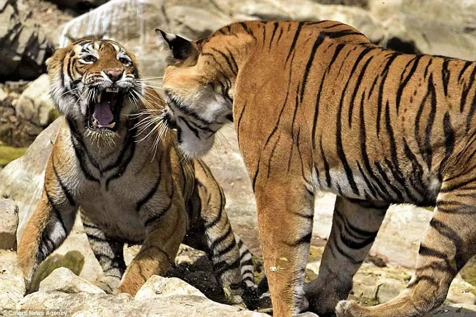 The tigers first size each other up