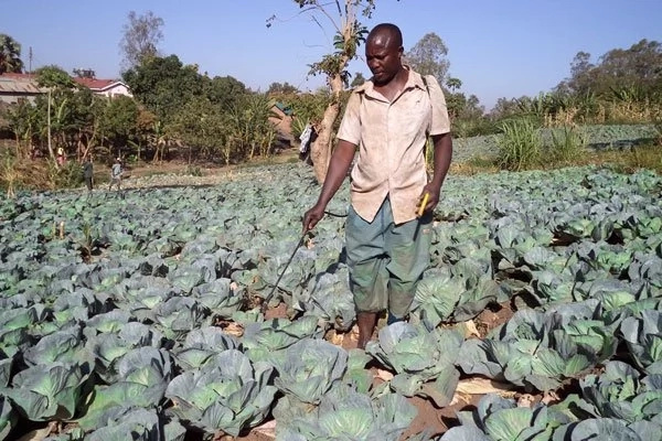 Read how brothers earn MILLIONS by growing CABBAGES (photos)
