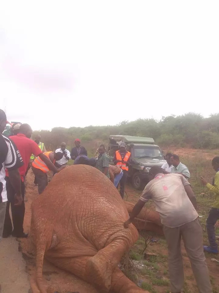 Elephant killed by speeding Miraa truck