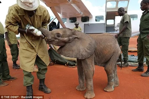 Officials gave him milk immediately. Photo: The DSWT/Barcroft Images