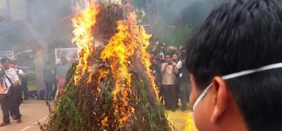 People aren't happy over burning of marijuana plants by PNP