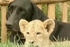 Perro adoptó a un león, ¡y es tan tierno como te lo imaginas!