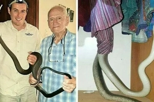 Strange bedfellow! Woman wakes up to find 2 metre black mamba napping next to her (photos)
