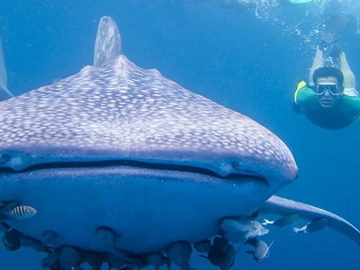 4 reasons not to swim with whale sharks in PH