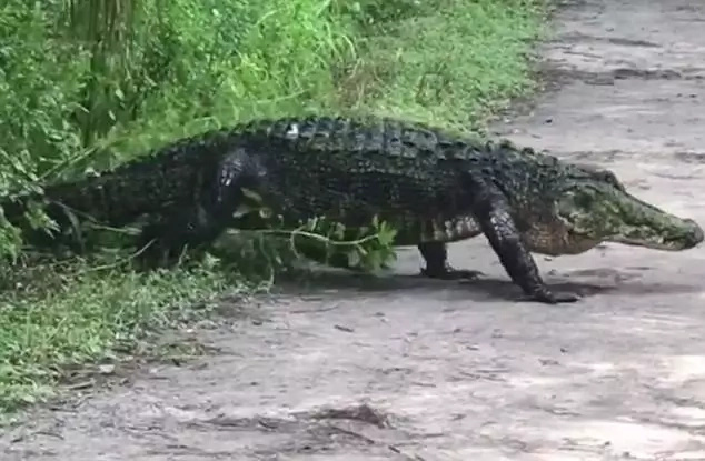 The alligator emerged from the bush. Photo: Daily Mail